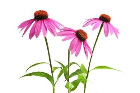 Echinacea Tee