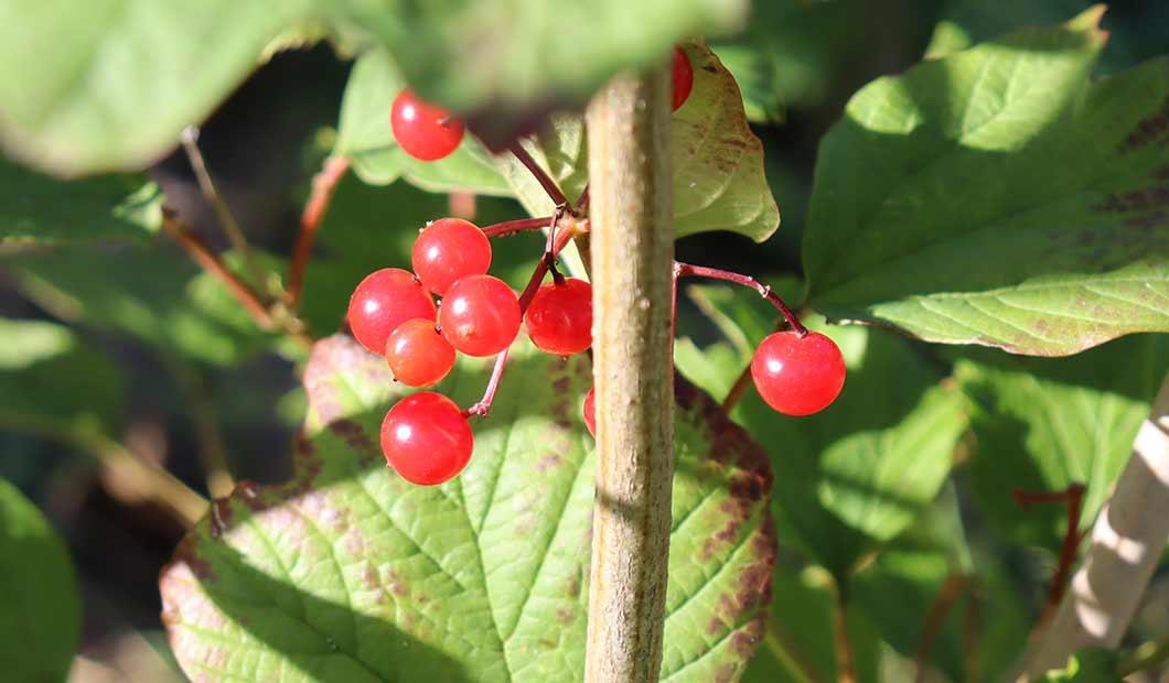 Johanniskraut - die Beeren werden nicht als Teeaufguss genutzt