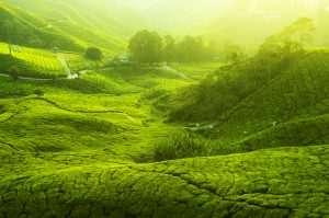 Tee-Anbau in Asien